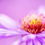 closeup violet aster flower background, shallow DOF